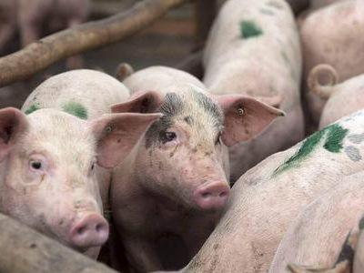 非洲猪瘟是魔鬼,如何防范?