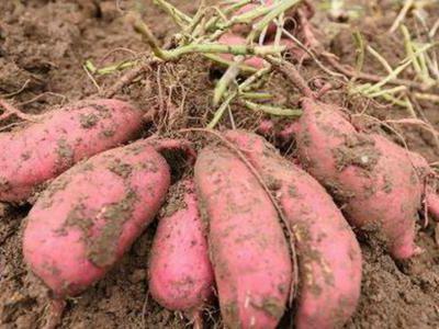 红薯抗冻减灾应采取什么措施?