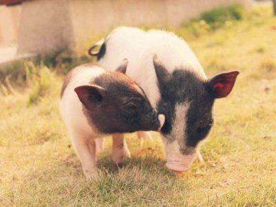 生猪生产将纳入国家安全战略,加大对猪场金融支持